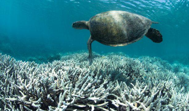 Ferblikke koraal