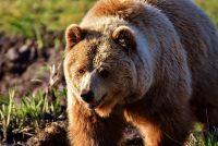 Bearen en wolven
