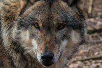 'Wolf fêstiget him definityf yn Drinte'