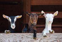 Foarearst net mear geiten yn Fryslân