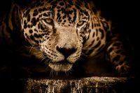 Frou yn Arizona oanfallen troch jaguar