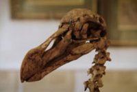 De Dodo, de tsjokke do fan Mauritius