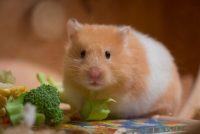 Hotze de Hamster (gedicht)
