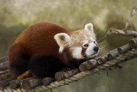 Reade panda's yn twa soarten