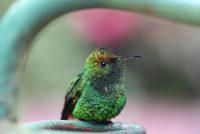 Kolibrys sjogge kleuren dy't minsken net sjen kinne