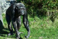 Untkommen sjimpansees deasketten yn bistetún Amersfoart