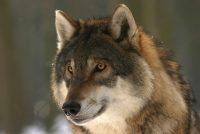 Wittenskip: 'Bliid dat wolf werom is, mar gefaar wurdt ûnderskat'