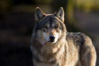 Alwer in wolf yn Fryslân