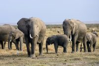 Streuper fertrape troch oaljefanten