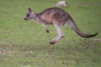 Koen de Kangeroe (gedicht)